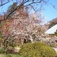 浄妙寺 境内の紅白梅。